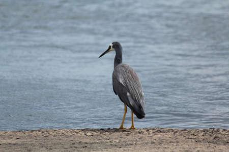 gray herons: Australian birds