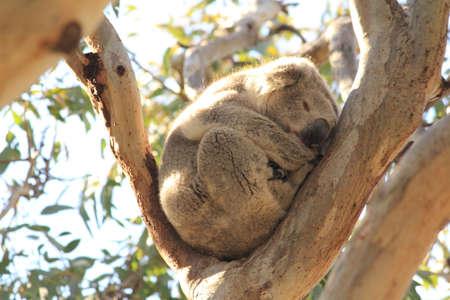 koala on gumtree Stock Photo