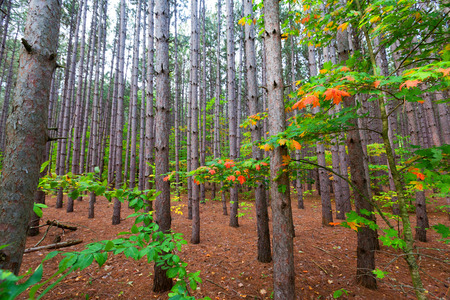 scenic drive: A pine plantation within Sleeping Bear Dunes National Lakeshore grows tall and straight. A soft bed of pine needles covers the bed of this pine forest and splashes of autumn color dot the scene as you drive along Pierce Stocking Scenic Drive.