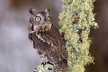 megascops: Eastern Screech Owl perches on a lichen covered branch. Stock Photo