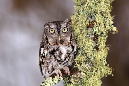 megascops: Eastern Screech Owl perches on lichen covered branch