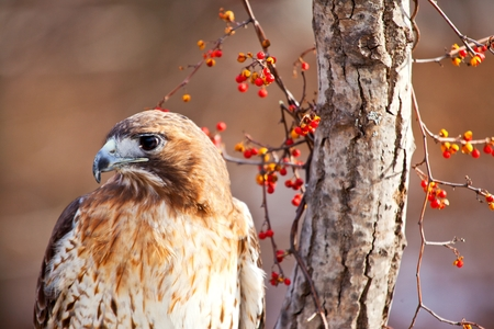 red tailed hawk: Red Tailed Hawk Stock Photo