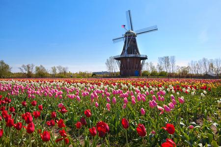 Eine authentische hölzerne Windmühle von den Niederlanden steigt hinter einem Feld von Tulpen in Holland Michigan im Frühling. Standard-Bild