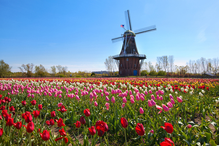 An authentic wooden windmill from the Netherlands rises behind a field of tulips in Holland Michigan at Springtime. Banque d'images