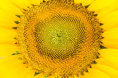 ''close up'': Close up sunflowers