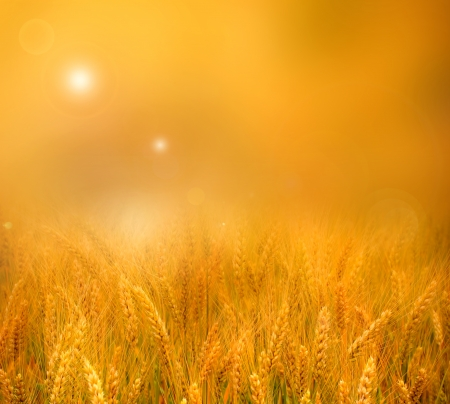 Glowing golden orange sunset over a field of ripe ears of wheat with a blurred misty background effect for your copyspace photo