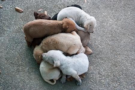 Puppy dog, Thai dog Stock Photo