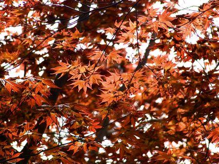 back lighting: Reddish maple leave in back lighting
