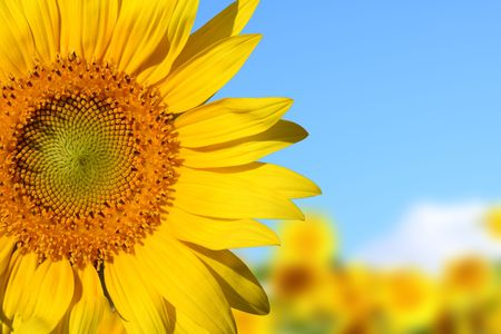 A colorful Sunflower shot at the field under blue sky Stock Photo - 3427811