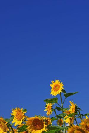 Sunflower shot under blue sky in the field Stock Photo - 3427808