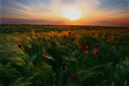 solstice: Sunset in a field of barley, with poppies Stock Photo