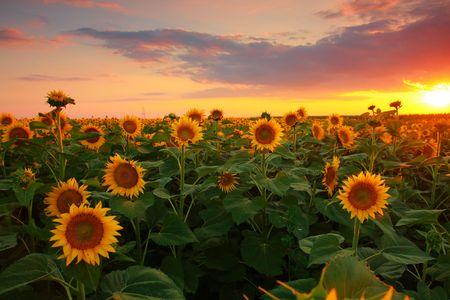 sunflower oil: Sunflower field on a warm summer evening  Stock Photo