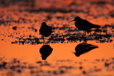 Common terns Sterna hirundo in the marshes in sunrise light photo