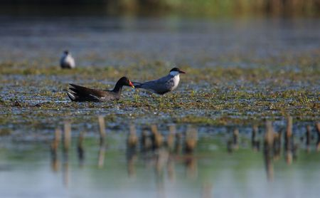 waterfowl: Adult common terns Sterna hirundo and waterfowl in the marshes