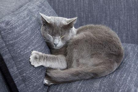sleepy gray cat on a sofa photo