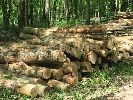 deforestacion: La deforestación: la tala de pinos en el bosque.