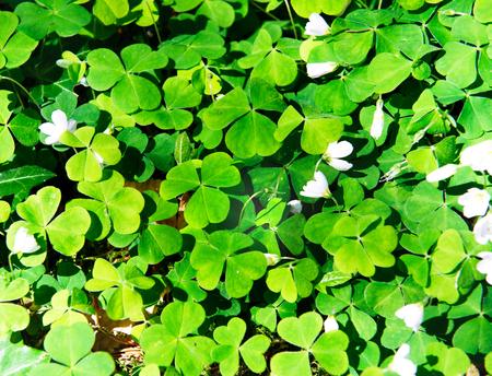 Wood Sorrel, Oxalis acetosella, Oxalidaceae. Irish Wild flowers