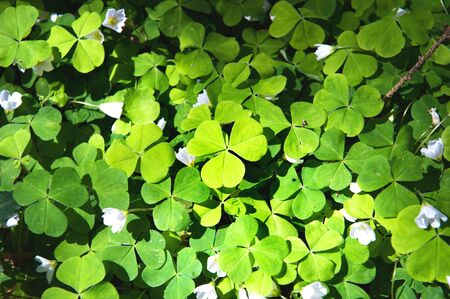 Wood Sorrel, Oxalis acetosella, Oxalidaceae. Irish Wild flowers