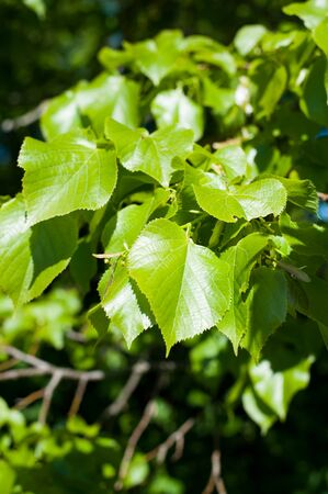 Young leaves of the lime tree lat. Tilia closeup