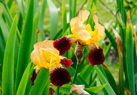 Beautiful blossom yellow and red tall bearded iris flowers