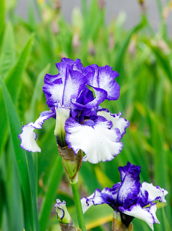 The Vine Irises Are Tall Bearded Iris