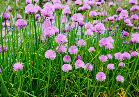 A pink flowers of chives, Allium schoenoprasum growing in the garden
