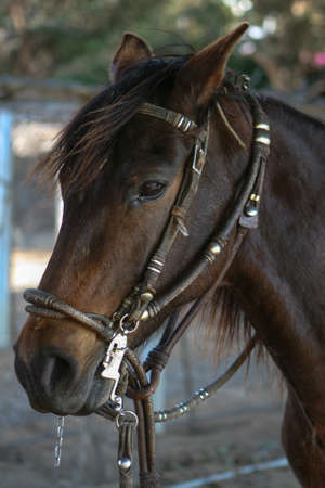 reins: Brown Horse with Reins Stock Photo