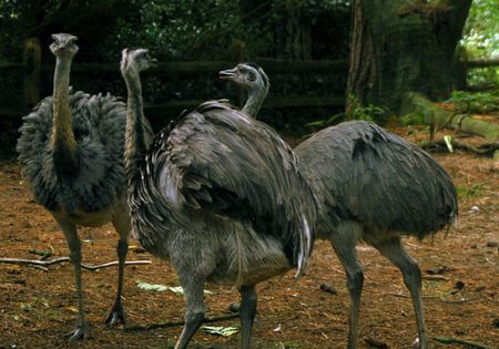 Emus Imagens