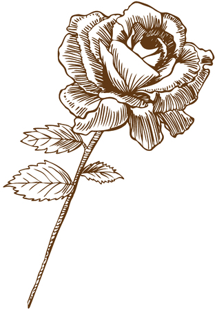 Rose tekening twee: Mooie hand getrokken rose bloom voort met bladeren in een sepiatint.