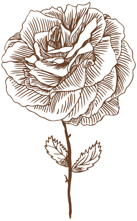 Rose Drawing Three : Beautiful hand drawn rose bloom stem with leaves in a sepia tone. Ilustracja