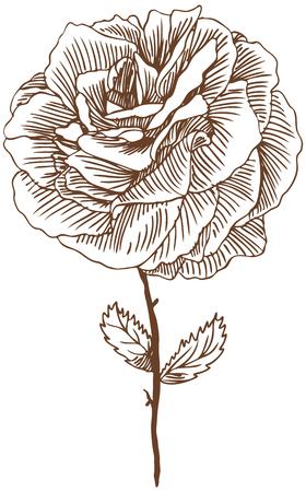 Rose zeichnen drei: Beautiful Hand gezeichnet rose Bloom ergeben sich mit Blättern in einem Sepia Ton. Standard-Bild - 5163290