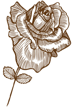 Rose Drawing Four : Beautiful hand drawn rose bloom stem with leaves in a sepia tone. Stock Vector - 5163295