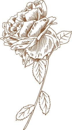 Dessin de tige de rose Banque d'images - 5588169
