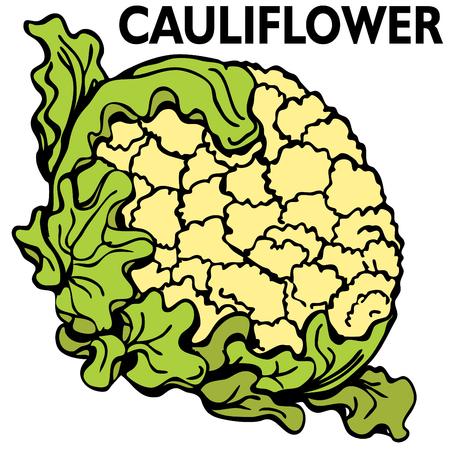 An image of a head of cauliflower. Vector