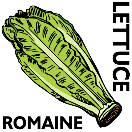 An image of romaine lettuce. Vector
