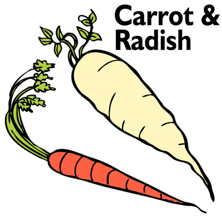 An image of a radish and carrot. Vector