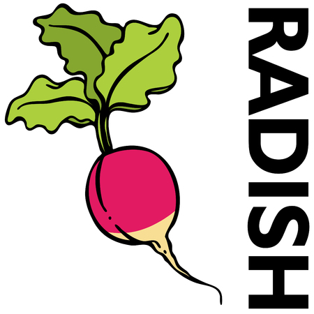 An image of a red radish. Vector