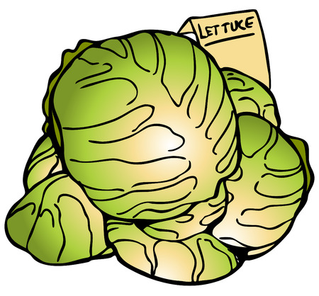 An image of lettuce heads. Vector