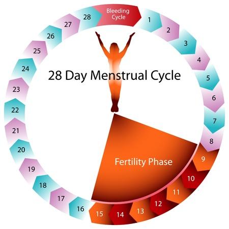Una imagen de un gr�fico del ciclo menstrual. Foto de archivo - 9163133