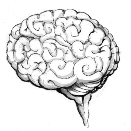 cerebro humano: Una imagen de un cerebro humano de dibujo. Foto de archivo