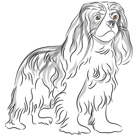 spaniel: An image of a cavalier king charles spaniel dog drawing. Illustration