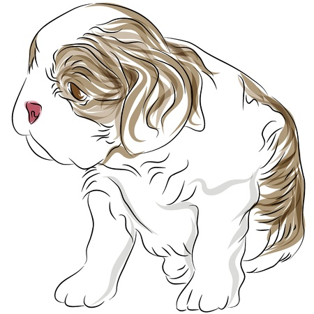 cavalier: An image of a cavalier king charles spaniel puppy dog drawing. Illustration