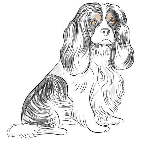An image of a Cavalier King Charles Spaniel dog Drawing. Illustration
