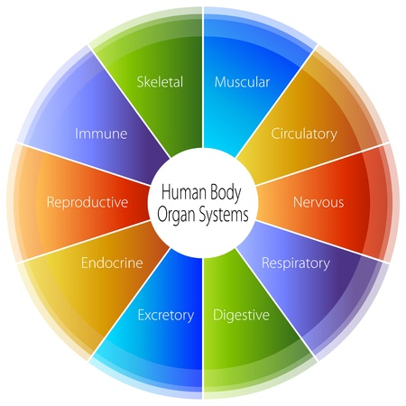 human immune system: An image of a human body organ systems chart.