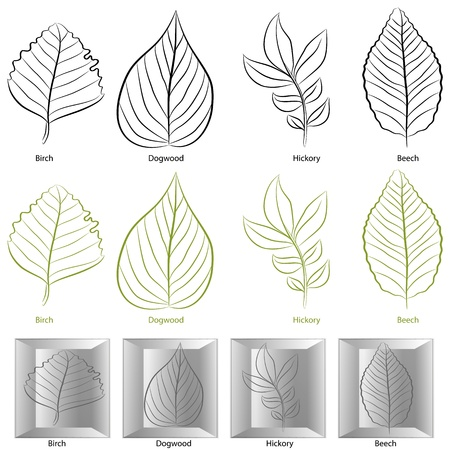 dogwood tree: An image of a set of birch, dogwood, hickory and birch tree leaf types.