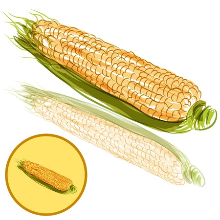 husk: An image of a ear of corn. Illustration