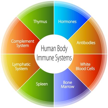 hormonas: Una imagen de un gráfico cuerpo humano sistemas inmunes.