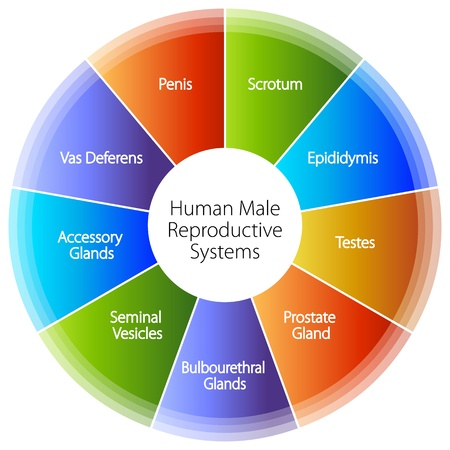An image of a human male reproductive systems chart. Vector