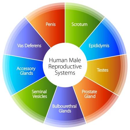 aparato reproductor: Una imagen de un ser humano masculino gr�fica el sistema reproductivo.