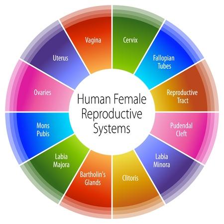 ovarios: Una imagen de un ser humano carta femenina el sistema reproductivo.